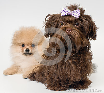 Puppies of a spitz-dog and color lap dog in studio