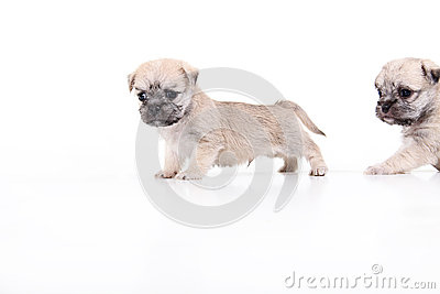 Puppies on white with puppy peeking
