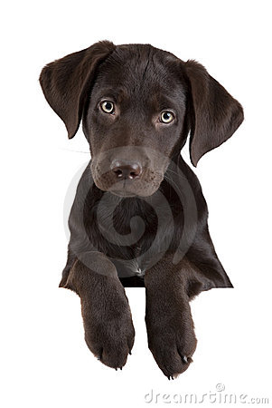 Free Puppy Above Banner Royalty Free Stock Image - 13663356