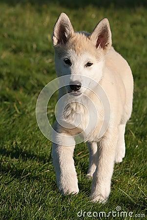 Puppy of alaskan husky