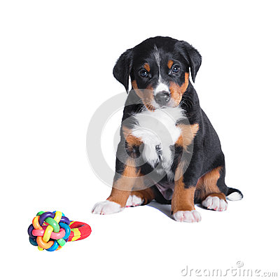 Puppy appenzeller sennenhund, 7 weeks, isolated