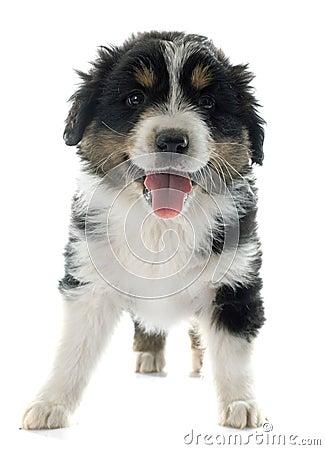 Puppy Australian Shepherd Stock Photo - Image: 60097412