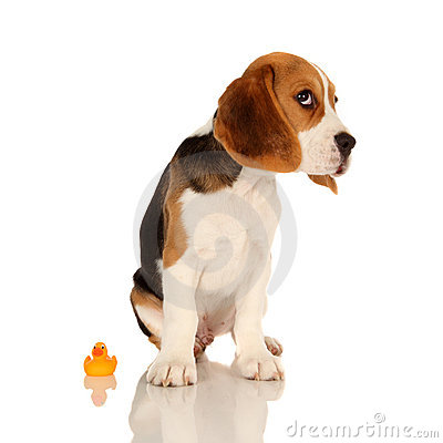 Free Puppy Beagle Stock Photos - 10883023