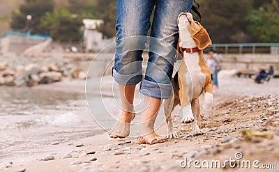 Puppy beagle running near it owner legs