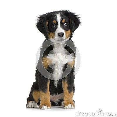 Free Puppy Bernese Mountain Dog Royalty Free Stock Image - 2244446