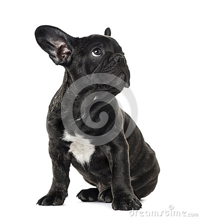 Free Puppy Black French Bulldog Sitting And Looking Away Royalty Free Stock Photo - 89216645