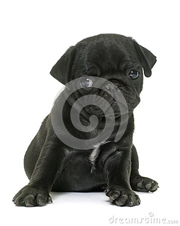 Free Puppy Black Pug Royalty Free Stock Photos - 103132148