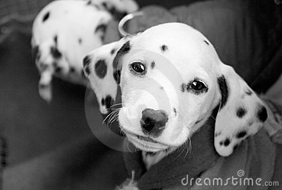 Puppy in black and white