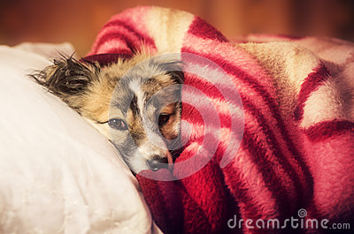 Puppy in blanket