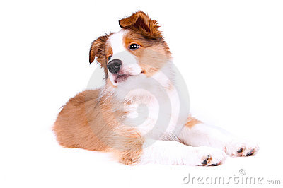 Puppy of the border collie dog