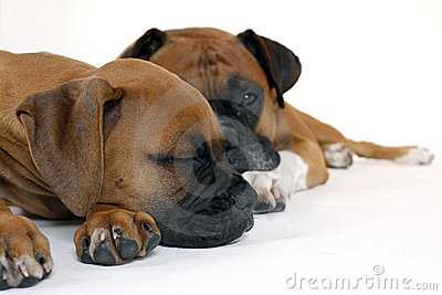 Puppy Boxer with Father