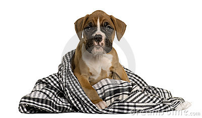 Puppy Boxer wrapped in blanket, 2 months old