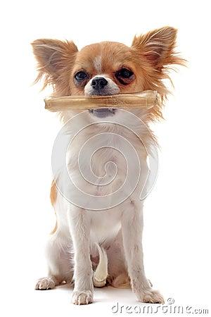 Puppy chihuahua and his bone