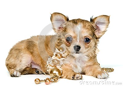 Puppy of the chihuahua with a necklace