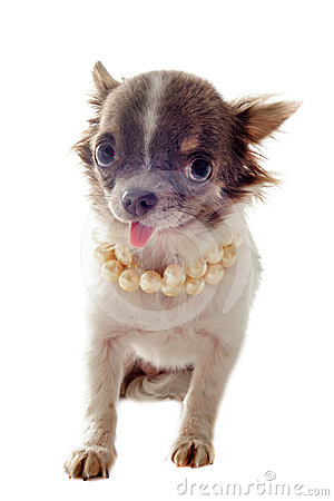 Puppy chihuahua and pearl collar