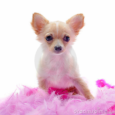 Puppy chihuahua with pink feather