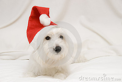 A puppy in Christmas.