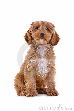 Free Puppy Cockapoo Isolated On White Royalty Free Stock Photo - 18491535