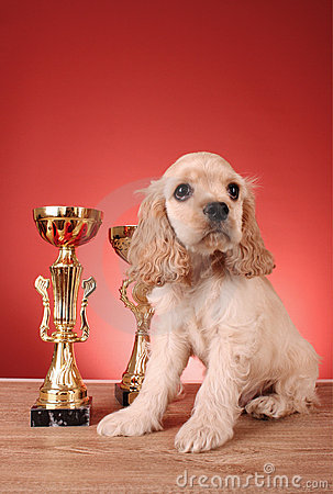Puppy cocker spaniel and trophy