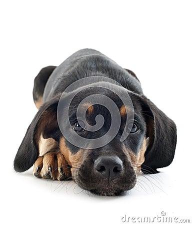 Free Puppy Doberman Royalty Free Stock Photography - 35515407
