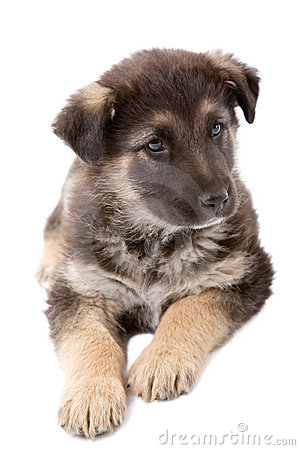 Free Puppy Dog Royalty Free Stock Images - 2507079