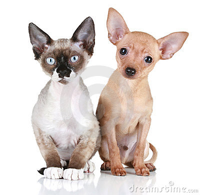 Free Puppy Dog And Devon Rex Cat On A White Background Stock Images - 17770564