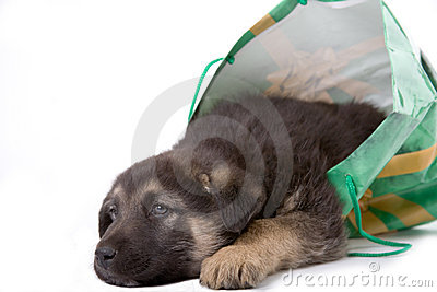 Puppy Dog Looking Out Of A Bag Stock Image - Image: 2624171