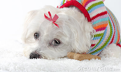 Maltese Dog Knitting Pattern : Puppy Dog Wearing A Knitted Jumper Lying In Snow Royalty Free Stock Photos - ...