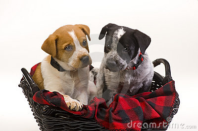 Puppy dogs in basket