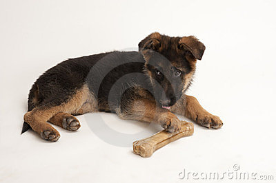 Puppy of German Shepherd