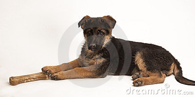 Puppy of German Shepherd