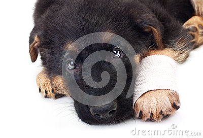 Puppy german shepherd dog with bandage.