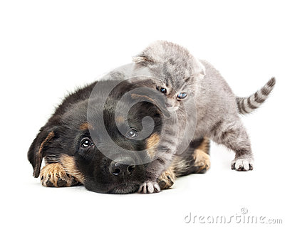 Puppy german shepherd dog and a cat.