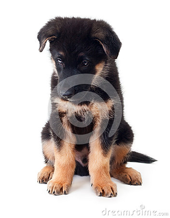 Puppy german shepherd dog.