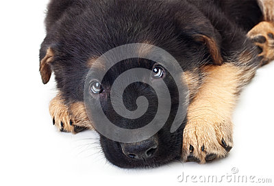 Puppy german shepherd dog.