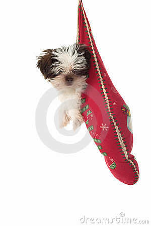Puppy Hanging Around In Christmas Stocking