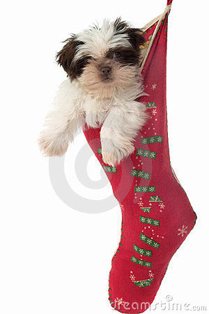 Puppy Hanging Around In Christmas Stocking 2