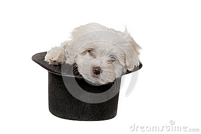 Puppy in a hat