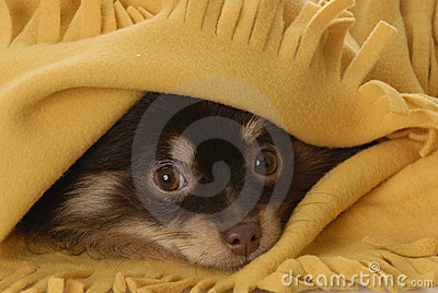 Puppy hiding under a blanket
