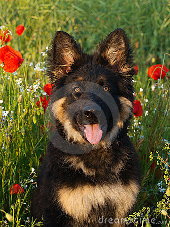 Free Puppy In Poppies Royalty Free Stock Image - 24192336