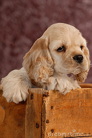 Free Puppy In Wooden Box Royalty Free Stock Images - 10484749