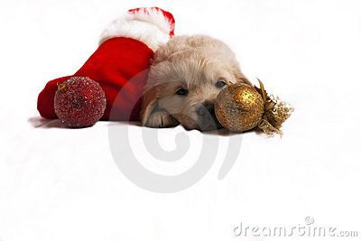 Puppy isolated on white with christmas sock, toys