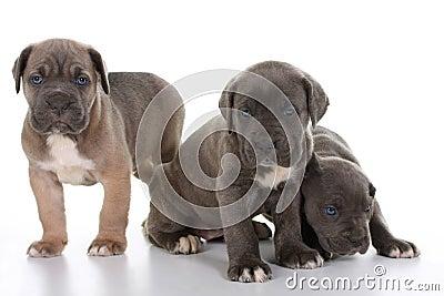 Puppy italian mastiff cane corso
