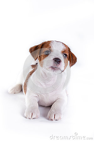 Free Puppy. Jack Russell Terrier. On The White Royalty Free Stock Photography - 34609347