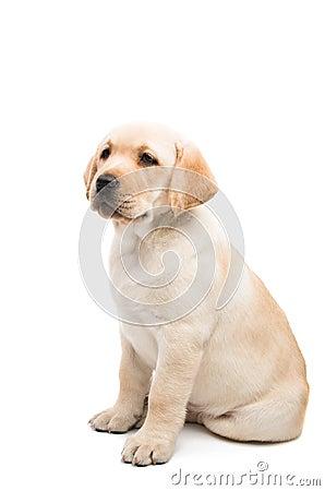 Free Puppy Labrador Isolated Stock Photo - 111232990