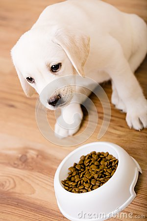 Puppy of Labrador sitting near his bowl with food