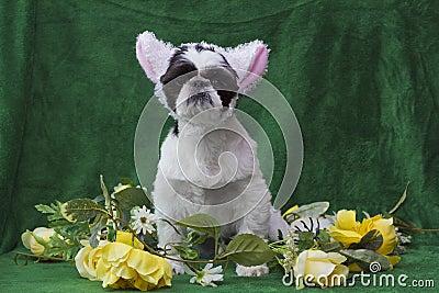 Puppy in lamb ears.