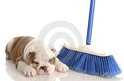 Puppy laying beside a broom
