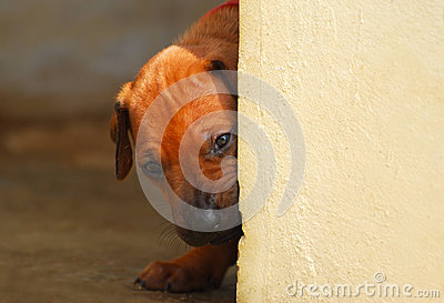 Puppy looking around corner