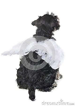 Free Puppy Miniature Schnauzer Royalty Free Stock Photo - 123316195